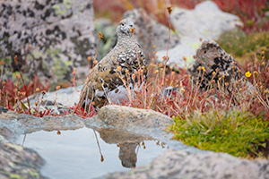 A wildlife photograph of a rock ptarmigan at Rocky Mountain National Park, Colorado. - Colorado Wildlife Photograph Photograph