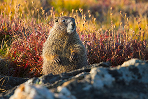 A wildlife photograph of a yellow-bellied marmot at Rocky Mountain National Park. - Colorado Wildlife Photograph Photograph