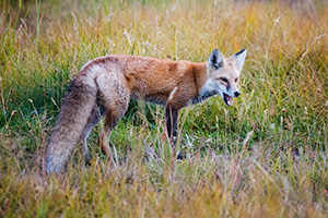 A wildlife photograph of a red fox hunting in the Kawuneeche Valley of Rocky Mountain National Park, Colorado. - Colorado Photograph