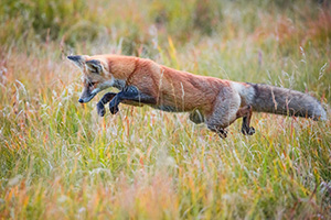 A red fox pounces on unsuspecting prey in the Kawuneeche Valley of western Rocky Mountain National Park, Colorado. - Colorado Photograph