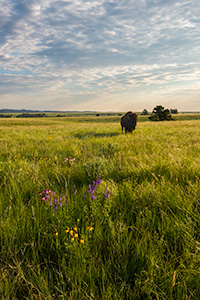 A wildlife photograph of a buffalo in a field of wildflowers in Wind Cave National Park, South Dakota. - South Dakota Wildlife Photograph