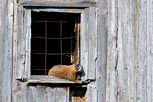 A wildlife photograph of a marmot sunning itself on an old shed in the Blacks Hills area of South Dakota. - South Dakota Photograph