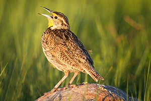A Western Meadowlark perches and sings on a rock in Wind Cave National Park, South Dakota. - South Dakota Photograph