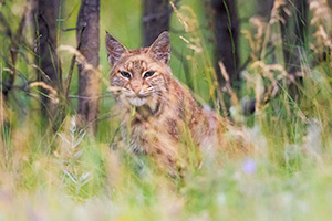 A wildlife photograph of a bobcat hiding in the grass at Custer State Park in the South Dakota Black Hills. - South Dakota Photograph