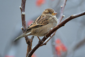 A sparrow stops briefly in a bush before finding some berries to feast on. - Nebraska Photograph