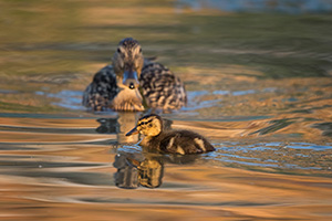 A mallard duckling swims across a small pond while the mother mallard watches. - Nebraska Photograph