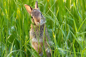 A photograph of a bunny rabbit chewing on grass in a field in rural Nebraska. - Nebraska Photograph