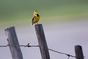A photograph of a western meadowlark singing on a fence post in Nebraska. - Nebraska Photograph