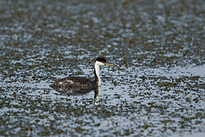 A Western Grebe floats on the lake at Smith Lake Wildlife Management Area in the Sandhills of Nebraska. - Nebraska Photograph