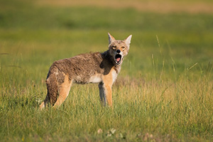A coyote stops, looks around, and then lets out a howl on the prairie on Wind Cave National Park in South Dakota. - South Dakota Photograph