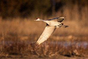A Sandhill Crane banks above the Platte River in Central Nebraska in the warm morning light. - Nebraska Photograph