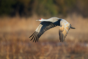 A Sandhill Crane glides through the sky above the Platte River in Central Nebraska in the warm morning light. - Nebraska Photograph