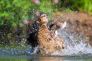 A wildlife photograph of a duck cooling off in Sarpy County, Nebraska. - Nebraska Photograph