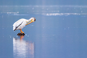 Wildlife photograph of a pelican resting on a rock at Grand Lake, Colorado. - Colorado Wildlife Photograph Photograph
