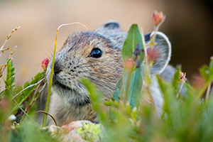 Wildlife photograph of a pika foraging for food at Rocky Mountain National Park, Colorado. - Colorado Wildlife Photograph Photograph