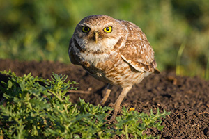 A burrowing owl is prepared to take flight to look for food for its family. - South Dakota Photograph