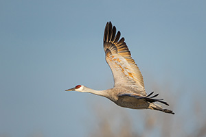 A Sandhill Crane turns toward the sun above the Platte River in Central Nebraska in the warm morning light. - Nebraska Photograph