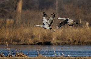 Two Sandhill Cranes take off from the Platte River. Each February through April hundreds of thousands of cranes migrate through the Platte River Valley in central Nebraska. - Nebraska Photograph