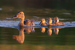A wildlife photograph of a set of ducklings swimming with their mom in Sarpy County, Nebraska. - Nebraska Photograph