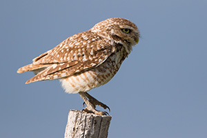 A burrowing owl prepares to take flight on a cool spring evening in the pandhandle of western Nebraska. - Nebraska Photograph