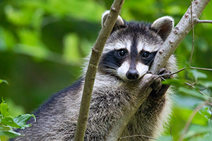A wildlife photograph of a raccoon in a tree at Fontenelle Forest in eastern Nebraska. - Nebraska Photograph