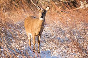 Just after dawn a deer pauses in a cold, wintry prairie at Chalco Hills Recreation Area in eastern Nebraska. - Nebraska Wildlife Photograph