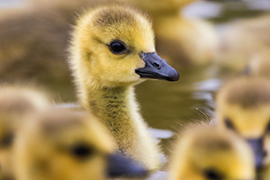 A curious gosling pokes his head up as a group swim by at the ponds at Schramm Park State Recreation Area. - Nebraska Photograph