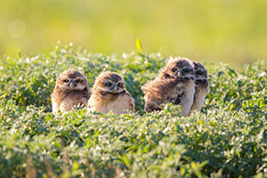 Four burrowing owl chicks at the Badlands National Park, South Dakota. - South Dakota Wildlife Photograph