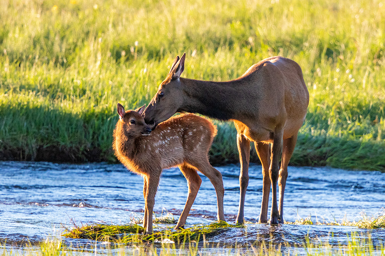 An elk calf receives an affectionate kiss from her mother in Moraine Park, Rocky Mountain NP, Colorado. - Colorado Wildlife Photograph