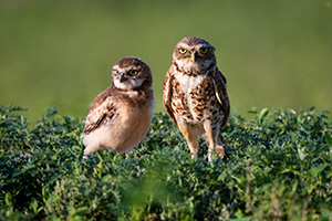 A mother burrowing owl and her chick at the Badlands National Park, South Dakota. - South Dakota Wildlife Photograph