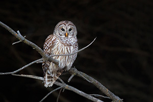 A Barred Owl watches quietly from a tree branch at Chalco Hills Recreation Area in eastern Nebraska. - Nebraska Photograph