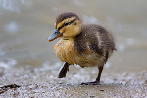 A mallard duckling waddles near a small pond in Omaha, Nebraska. - Nebraska Photograph