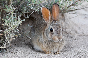 A Nebraska wildlife photograph of a cottontail rabbit under sagebrush at Toadstool Geologic Park. - Nebraska Photograph