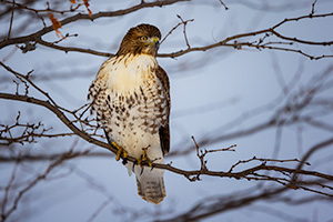 A wildlife photograph of a Red-Tailed Hawk in the winter in eastern Nebraska. - Nebraska Photograph