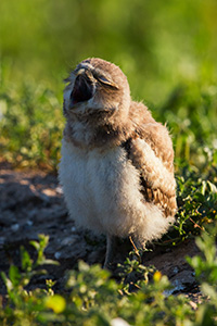 A burrowing owl chick yawns in the morning in Badlands National Park, South Dakota. - South Dakota Wildlife Photograph