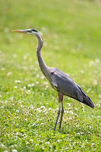 A blue heron stands silently at Schramm State Recreation Area in eastern Nebraska. - Nebraska Photograph