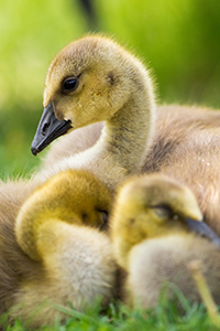 Two goslings huddle together as a third keeps watch at Schramm State Recreation Area in eastern Nebraska. - Nebraska Photograph