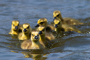 A gaggle of newly hatched goslings swim in one of the ponds at Schramm Park State Recreation Area. - Nebraska Photograph