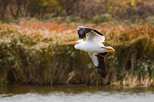 A pelican flies high above the water at DeSoto National Wildlife Refuge. - Iowa Photograph