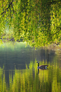 A Canada Goose glides across a lake at Mahoney State Park in the morning sun. - Nebraska Photograph