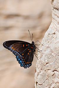 A butterfly rests next to the Buffalo River in northern Arkansas. - Arkansas Photograph