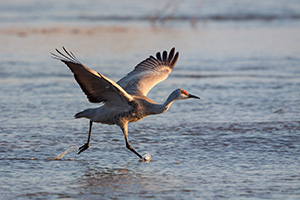 A Sandhill Crane begins to run and prepares to take flight on the Platte River in central Nebraska. - Nebraska Photograph