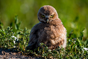 A burrowing owl chick looks over his wing in Badlands National Park, South Dakota. - South Dakota Wildlife Photograph