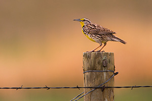 A Western Meadowlark sings on a fencepost at McKelvie National Forest. - Nebraska Photograph