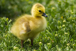 A young gosling stands in a grassy area near one of the ponds at Schramm Park State Recreation Area. - Nebraska Photograph