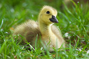 A gosling rests in the green spring grass while gazing into the distance at Schramm State Recreation Area. - Nebraska Photograph