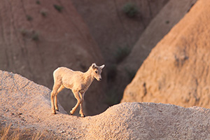 An adolescent bighorn sheep deftly steps out across the Badlands in South Dakota. - South Dakota Wildlife Photograph