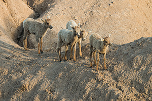 Four Bighorn Sheep kids navigate through the rocks in Badlands National Park, South Dakota. - South Dakota Wildlife Photograph