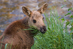 Near the Colorado River in the Kawuneeche Valley in western Rocky Mountain National Park, a Moose calf looks back over his shoulder at me before bounding off with his mother into the forest and out of sight. - Colorado Wildlife Photograph Photograph