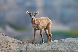 A young bighorn sheep pauses on the top of a ledge in Badlands National Park, South Dakota. - South Dakota Wildlife Photograph